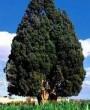 گفتی و من باور کردم! / حمل درخت سرو با چهل هزار شتر!