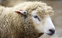 قربانی گوسفند در منابع زرتشتی