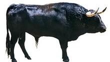 ریختن ادرار گاو بر لبان محتضر، خرافه یا بهداشت؟!